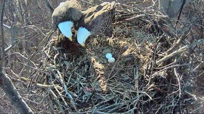 f23 cec eagle eggs.jpg