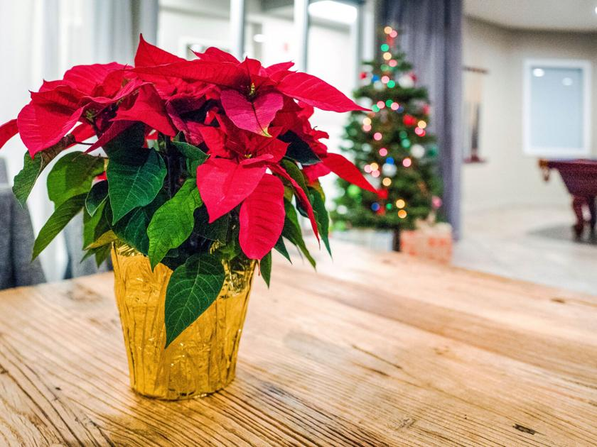 Here are some botany lessons you can learn from poinsettias [Master Gardener column] | Food + Living