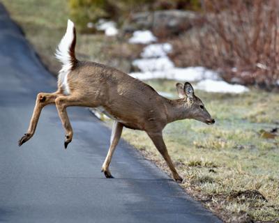 Deer Crossing 2.jpg