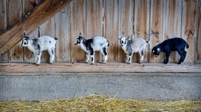 Goat Baby Shower and Goat-A-Thon took place Saturday