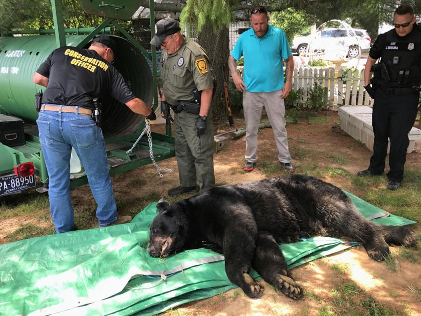 550 pound black bear largest ever recorded in lancaster county 550 pound black bear largest ever recorded in lancaster county captured near leola after anxious moments local news lancasteronline publicscrutiny Choice Image