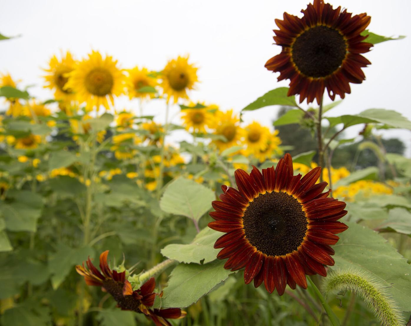 Wheatland Sunflower Field