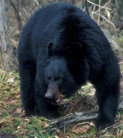 black bear (copy)