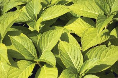 Mint-plant.tif