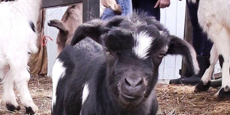 Baby fainting goats join warmer temperatures as spring nears