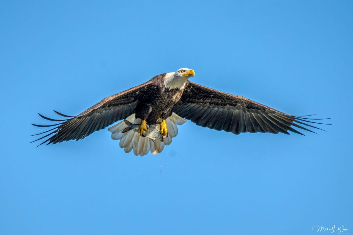 Outdoors Eagle with fish in talons D13.jpg