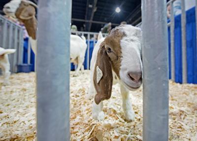 Goat at farm show