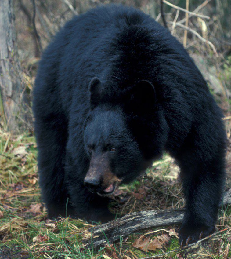 Pennsylvania hunters kill 659 black bears on first day black bear publicscrutiny Choice Image