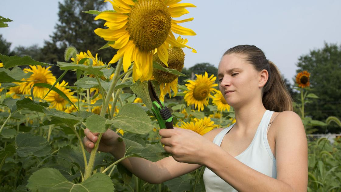 Sunflowers for sale fill garden at Wheatland Middle School [gallery]   Home & Garden