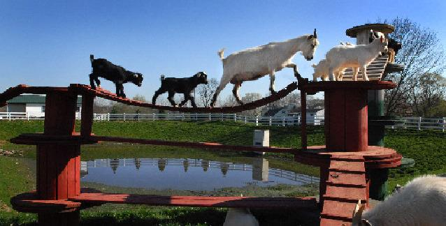 The Golden Goat Bridge News Lancasteronline Com