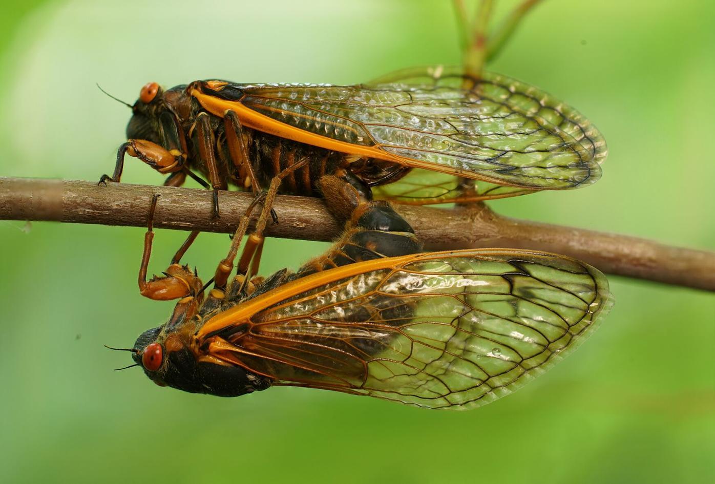 Givens cicadas.png