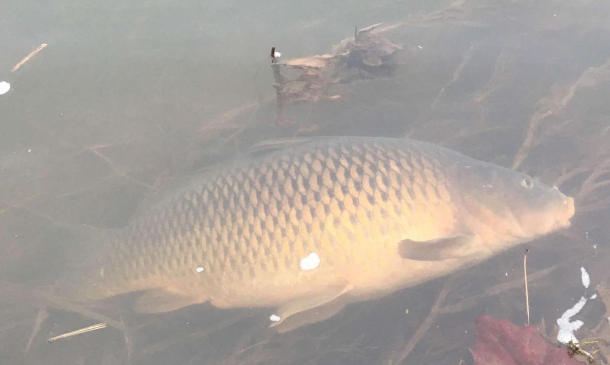 Brunner Island Fish kill