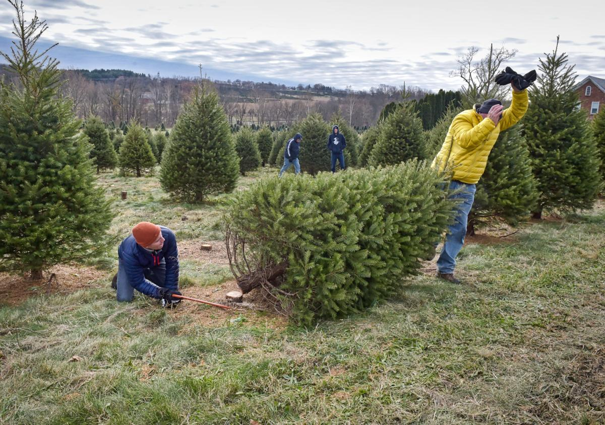 Cut Your Own Christmas Tree Long Island.How To Pick A Christmas Tree Have A Good Time Doing It