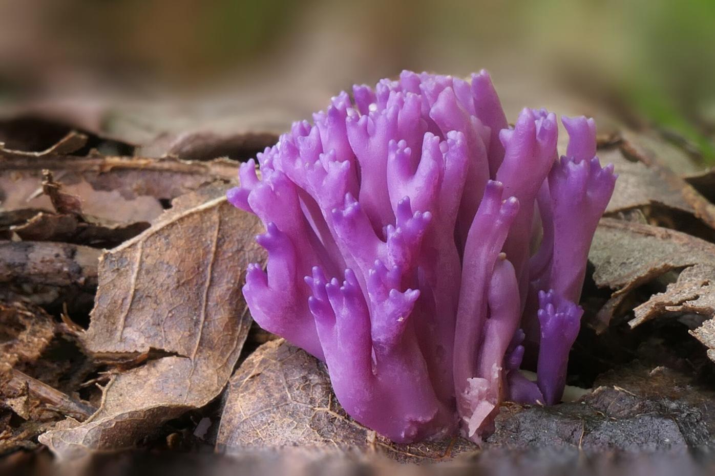 Givens coral fungi.png