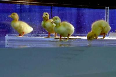 PA Farmshow Duck livestream