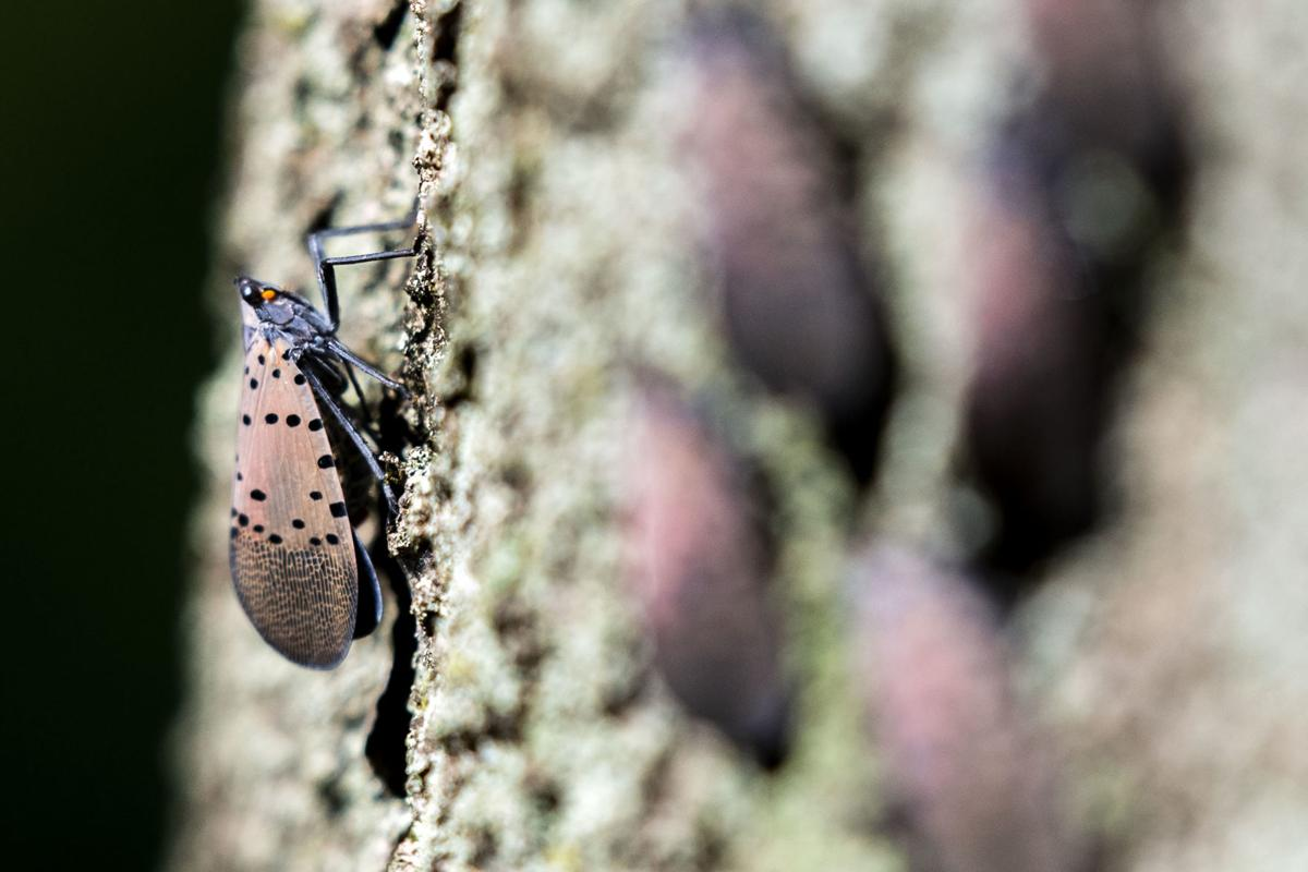 Spotted lanternflies in Manheim Twp