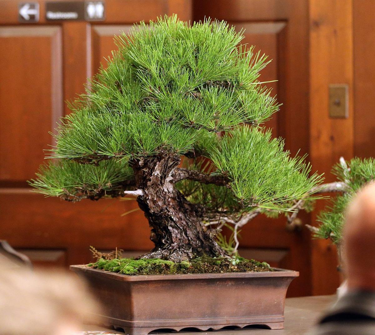 Slow Gardening Bonsai Are Tiny And Ancient But Don T Call Them Houseplants Home Garden Lancasteronline Com