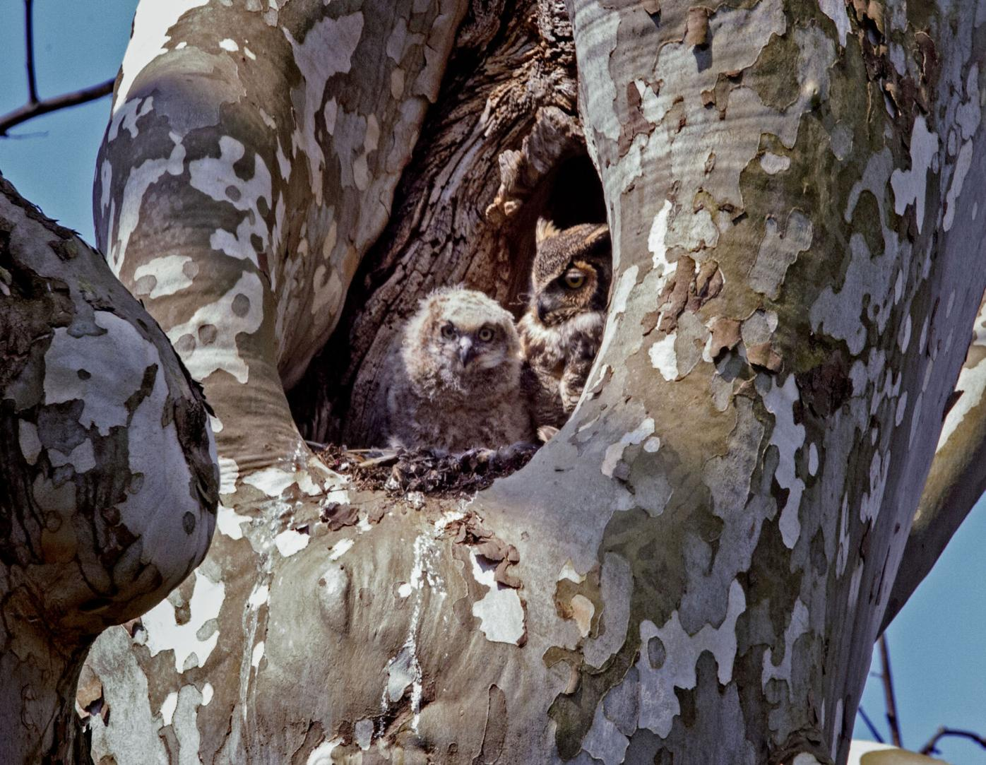 Mt Joy owls