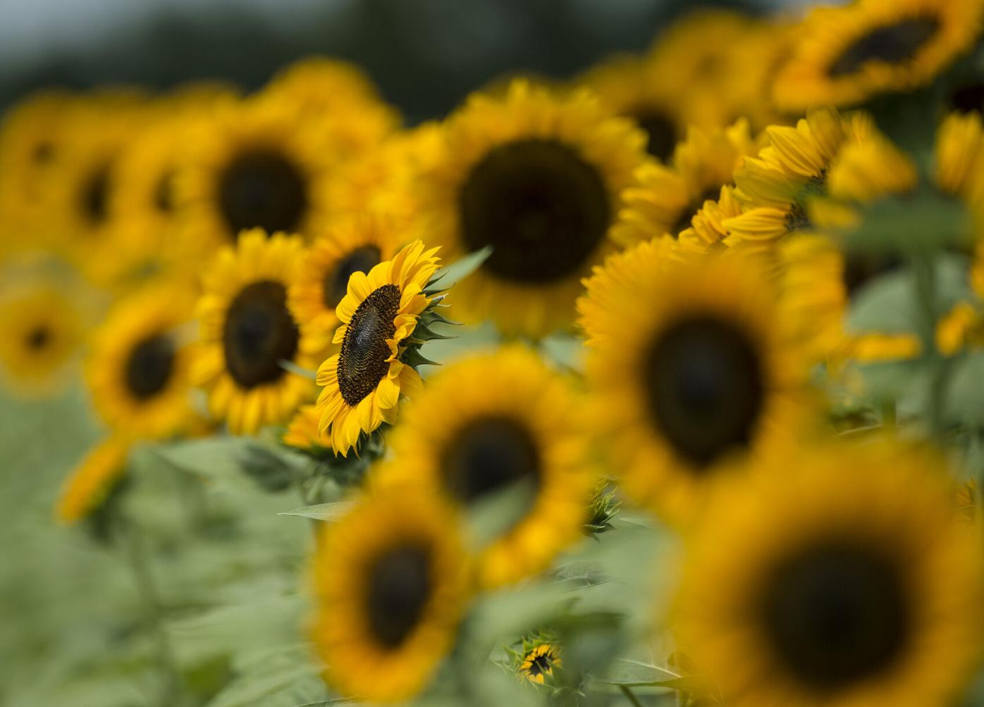 Sunflowers at Harvest Lane Farms