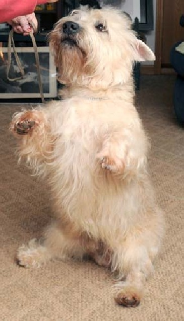 Local dog Finnegan takes Best in Breed at Westminster Kennel
