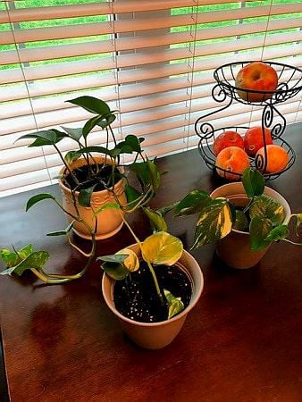 Philodendron Part 2