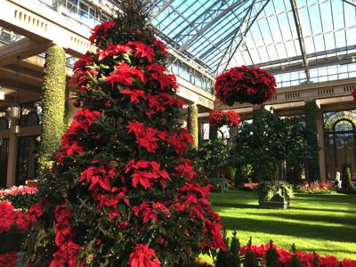 Poinsettias in conservatory