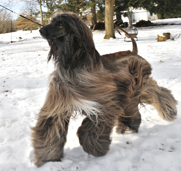 Champion Afghan Hound Headed For Venerable Dog Show