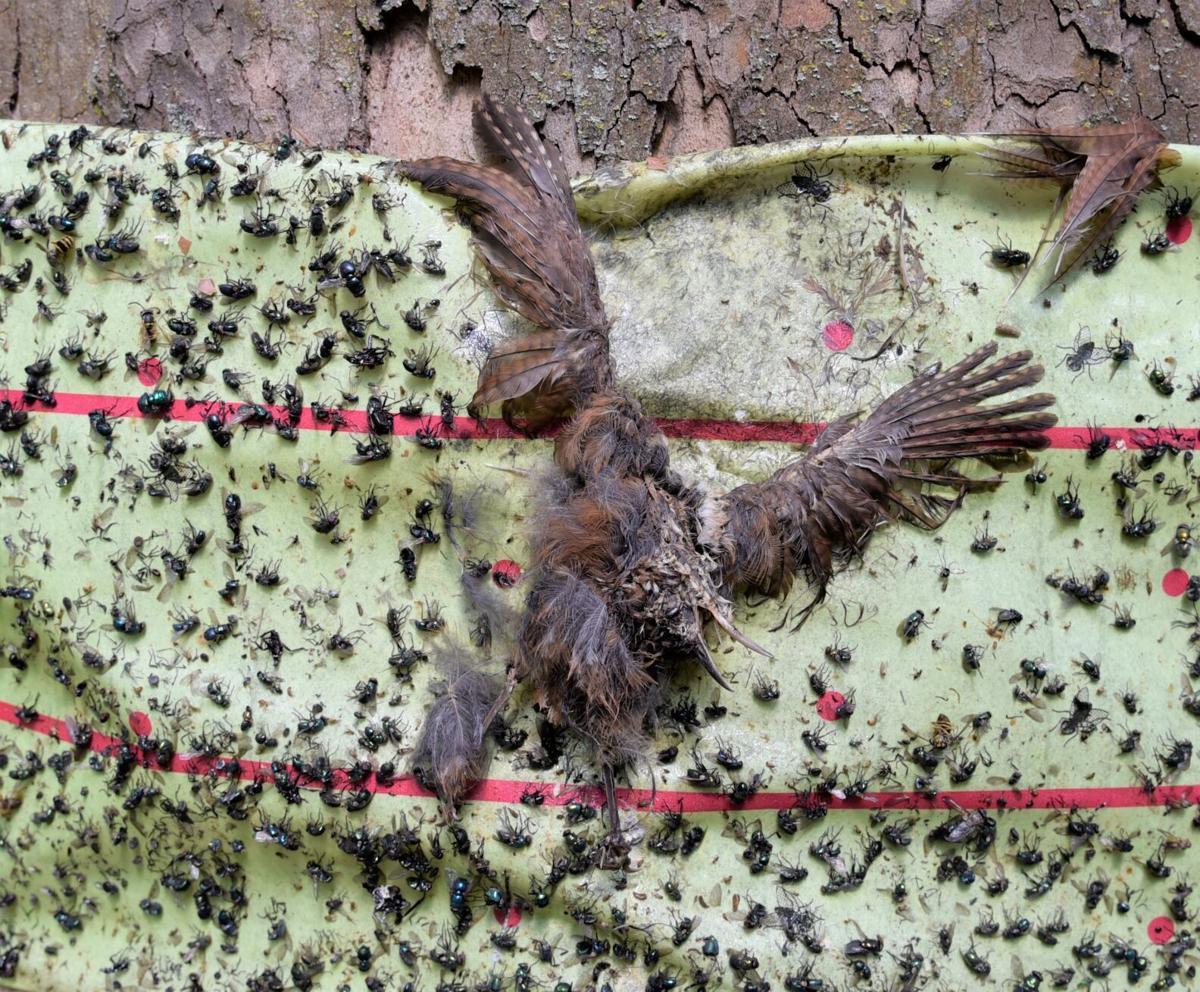 lanternfly dead bird
