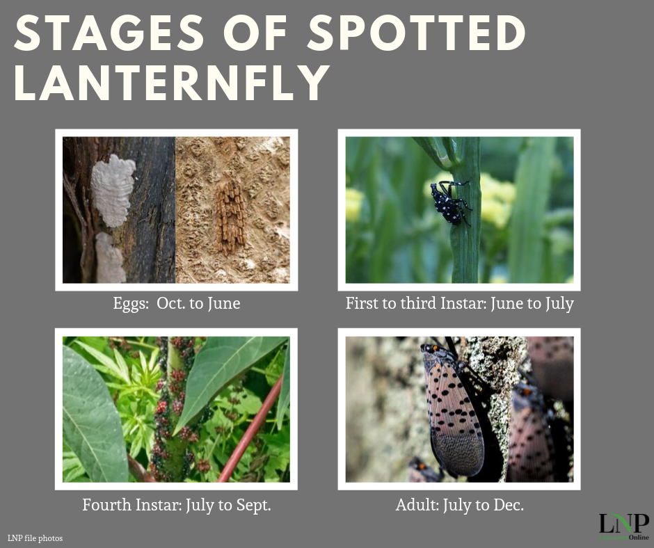 stages of spotted lanternfly infographic