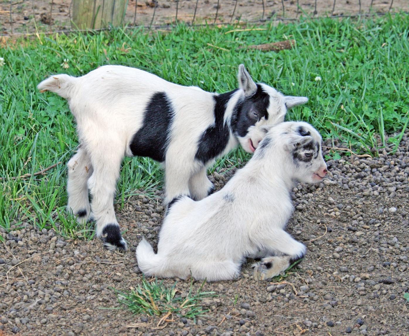 Baby Goats.