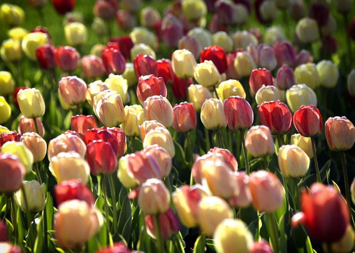 Tulips Blooming at Hershey Gardens