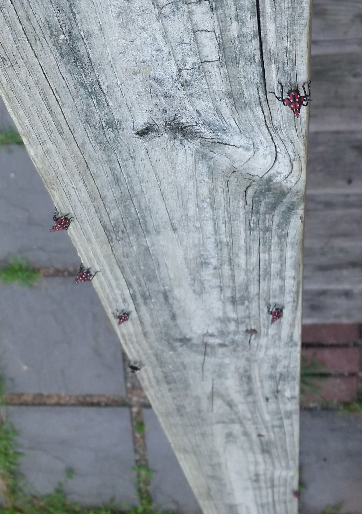 Ephrata Lanternflies