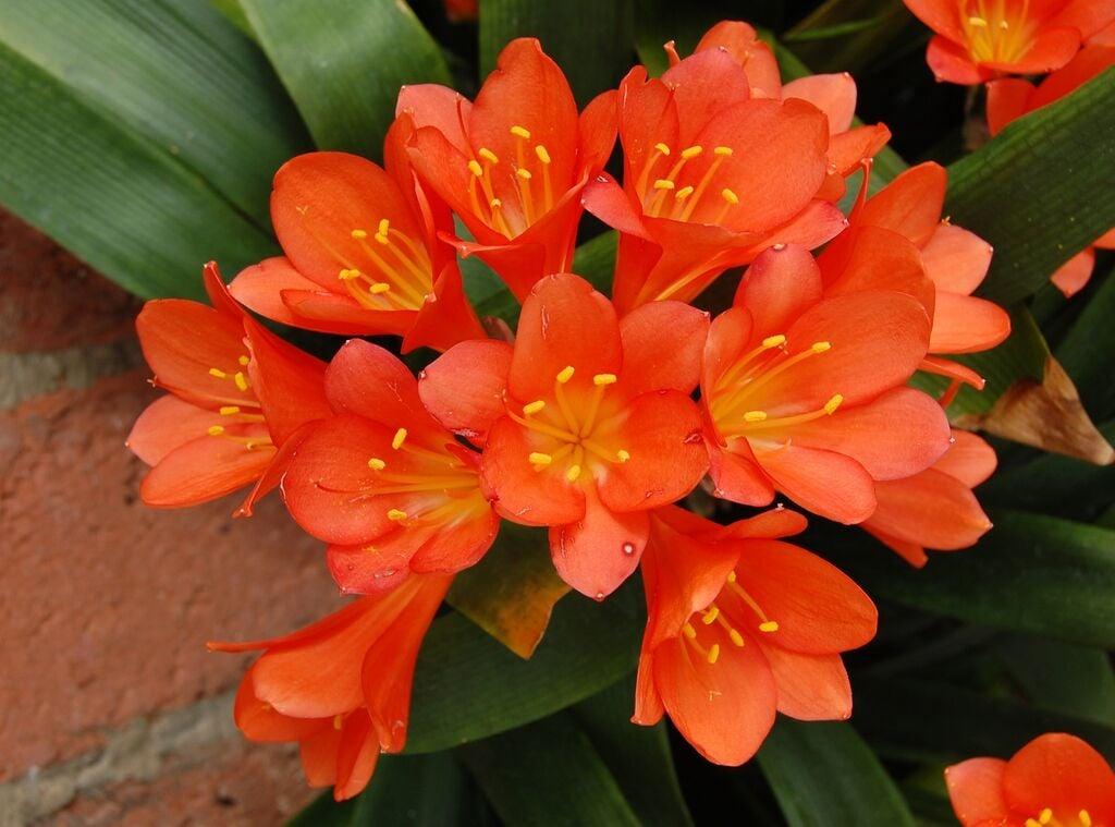 Houseplants clivia