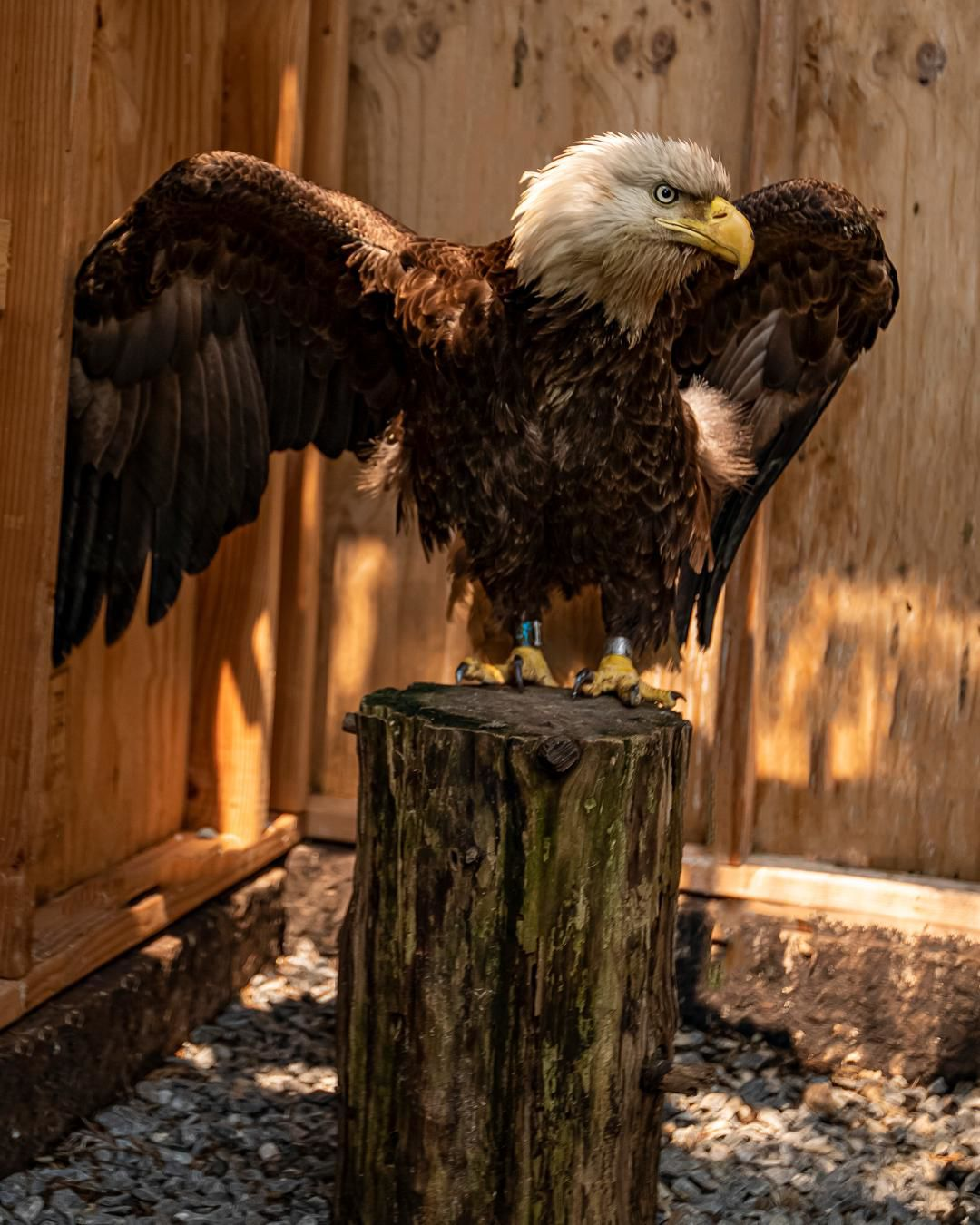 eagle on the mend
