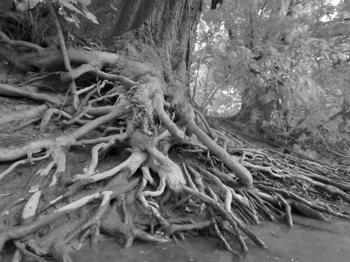 tubing tree roots A25.jpg