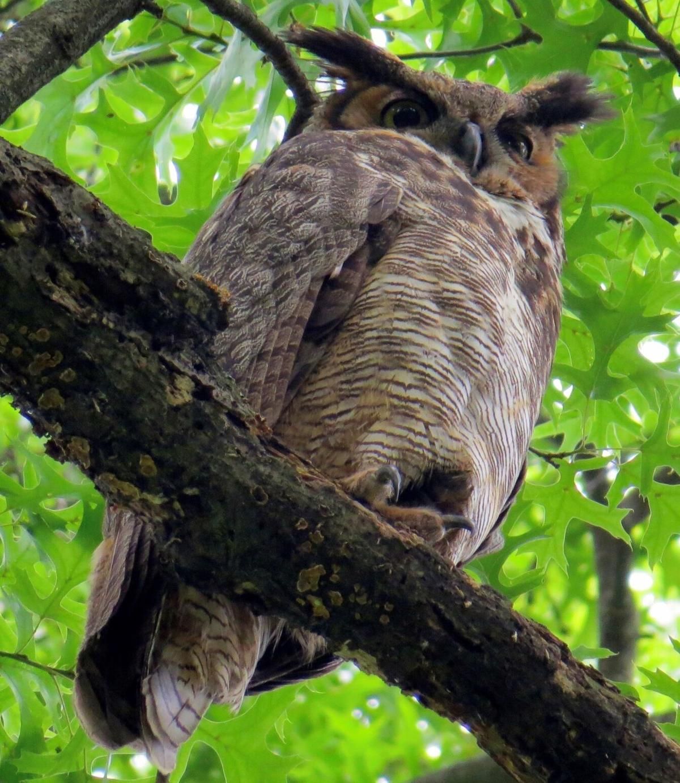 out owl photo A23.jpg