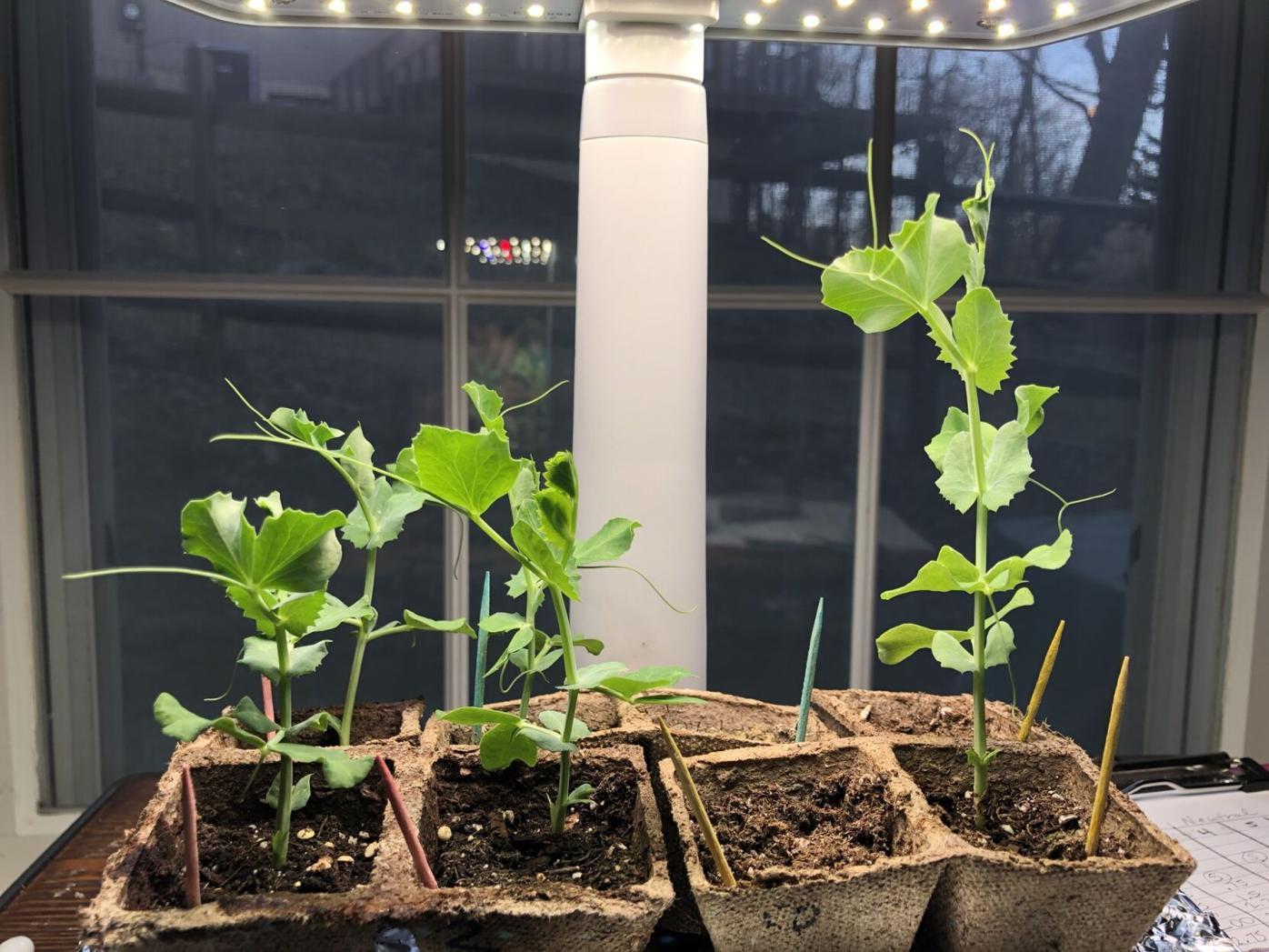 Science Fair pH Plants