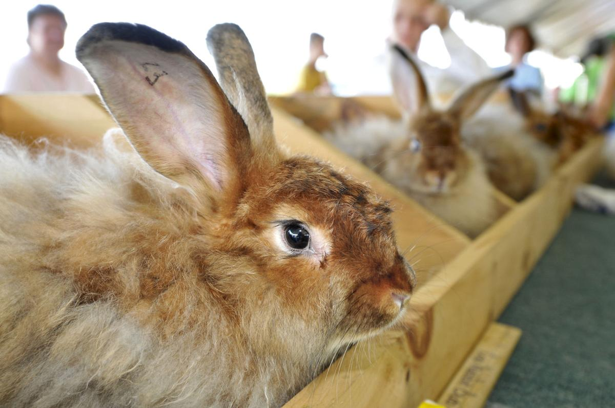 Satin Angora rabbits are at their best during competition Tuesday at the Elizabethtown Fair.