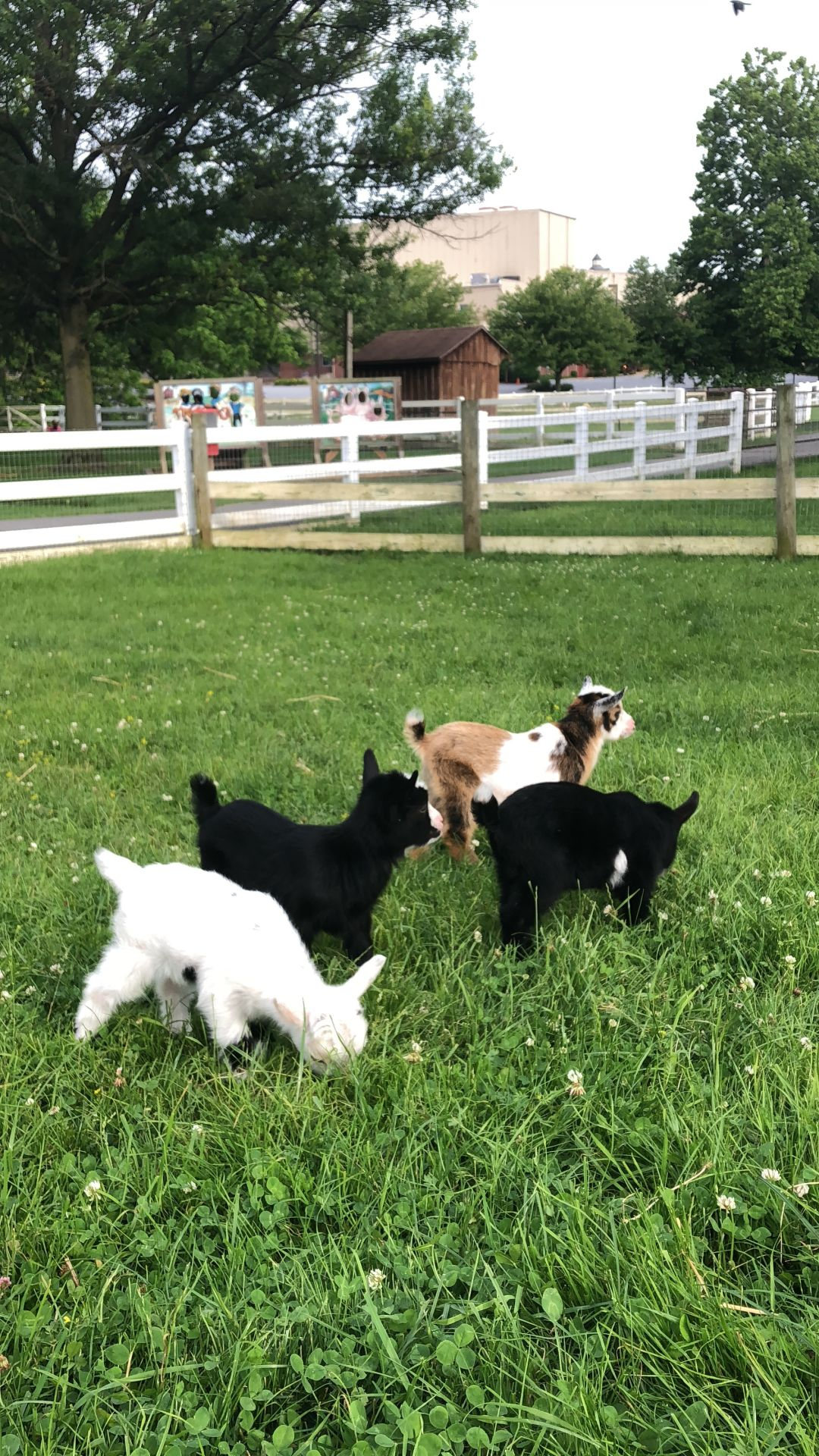 Amish Farm and House goat yoga