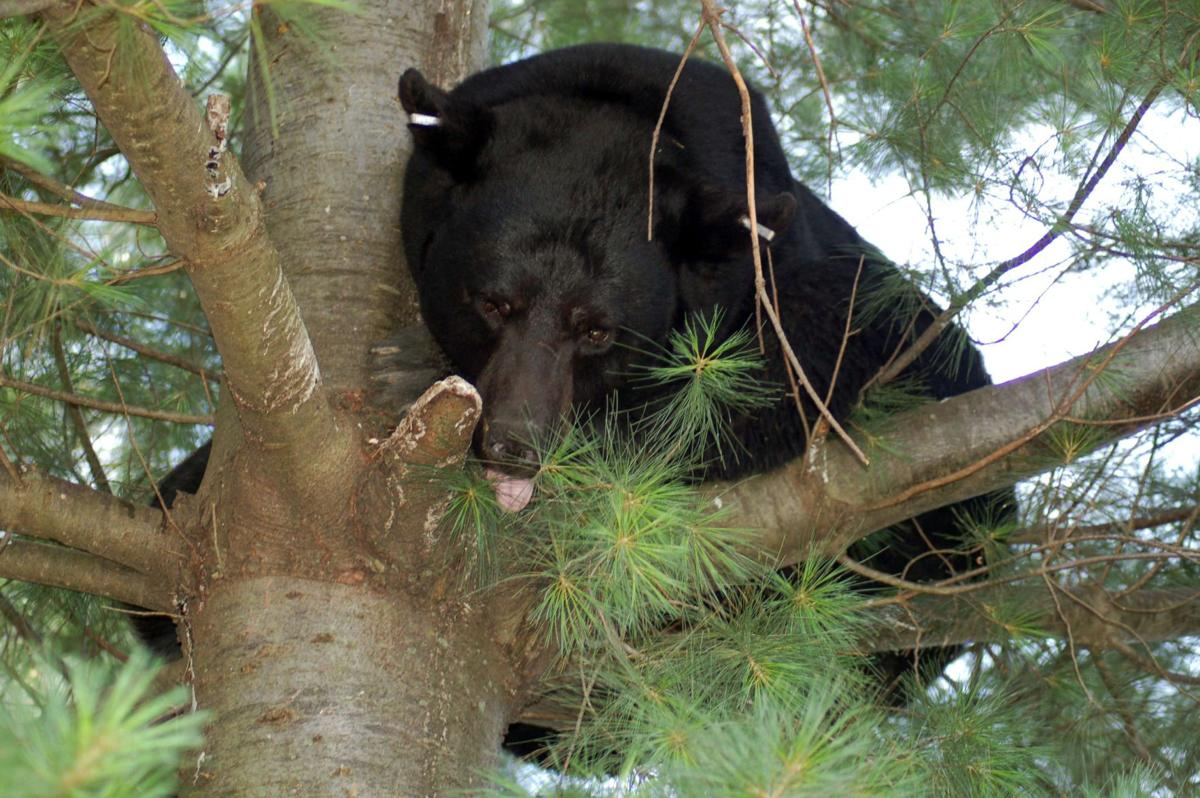 largest bear ever captured in lancaster county killed on
