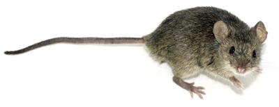 White_Footed_Mouse_M7