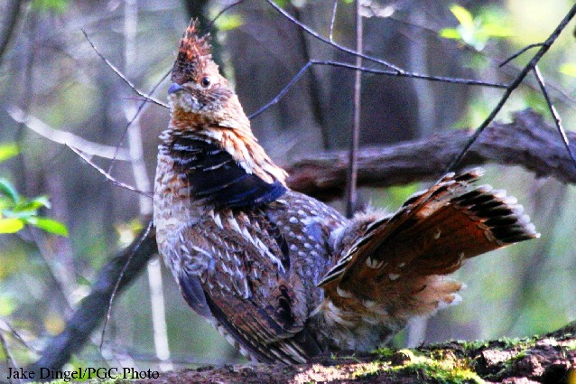 the ruffed grouse pennsylvanias state bird is seeing numbers plummet
