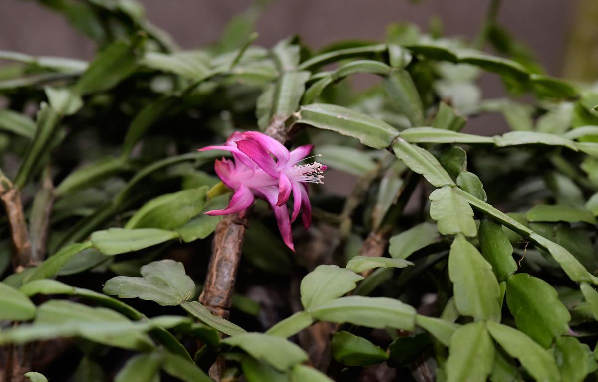 Plants Shirley Orfanella 5.jpg