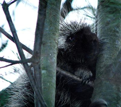Pa. Game board scales back porcupine hunting