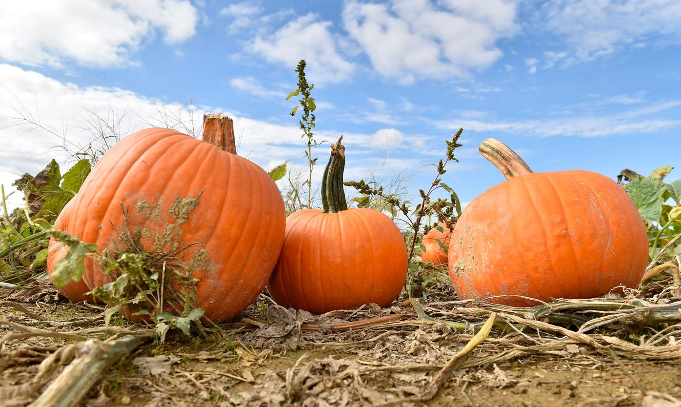 Pumpkins Cherry Hill Orchard 1.jpg