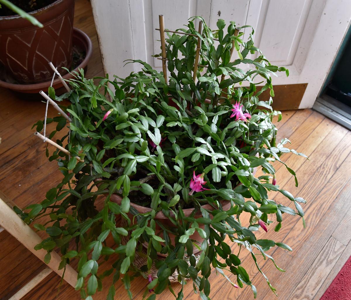 Plants Shirley Orfanella 6.jpg