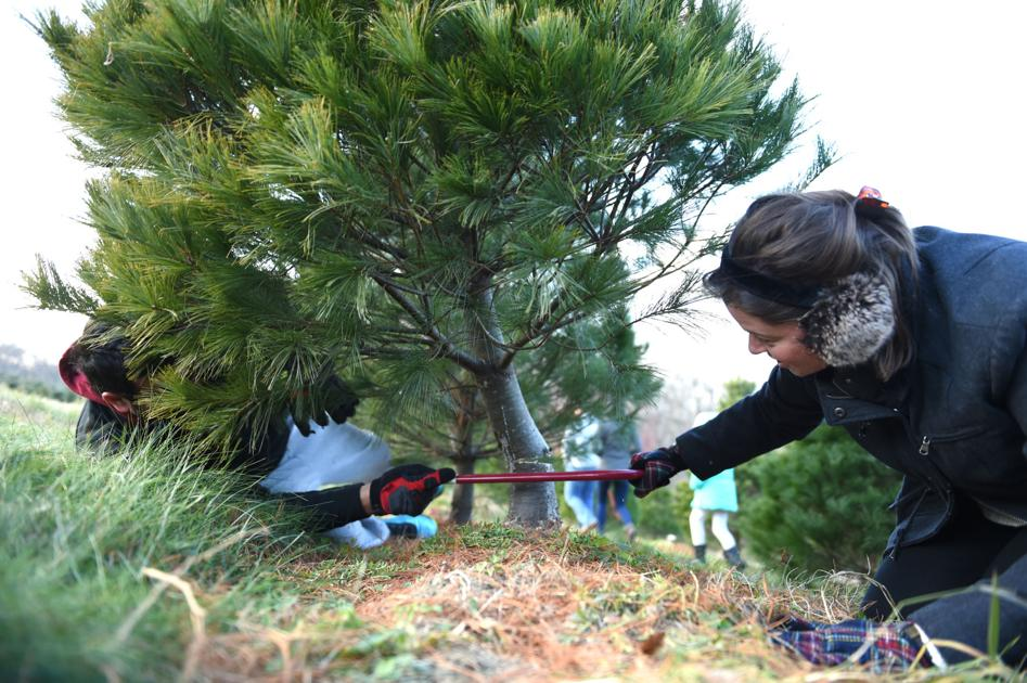 8 places to cut your own Christmas tree in Lancaster County | Together |  lancasteronline.com - 8 Places To Cut Your Own Christmas Tree In Lancaster County