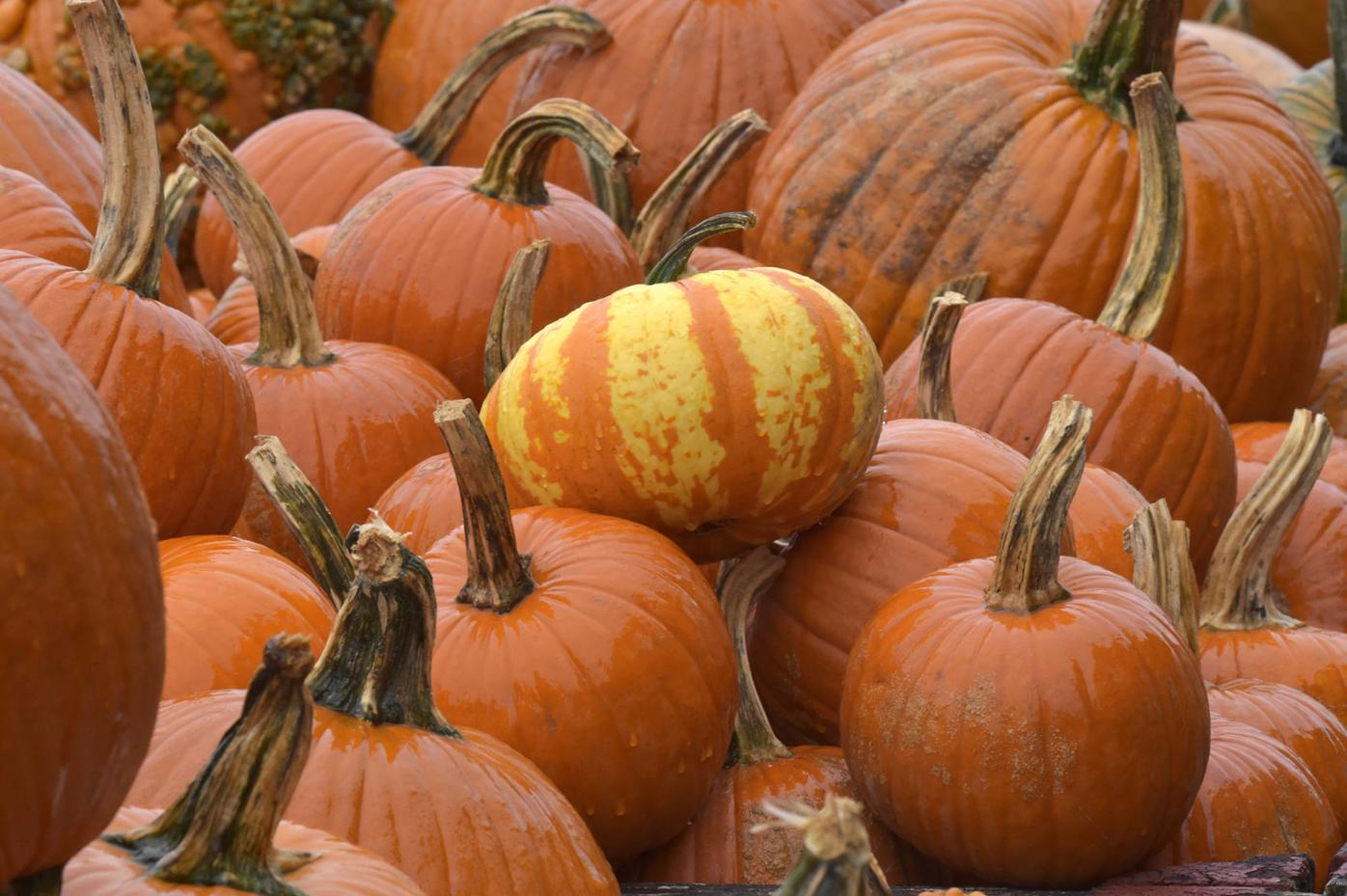 pumpkins country barn13.jpg