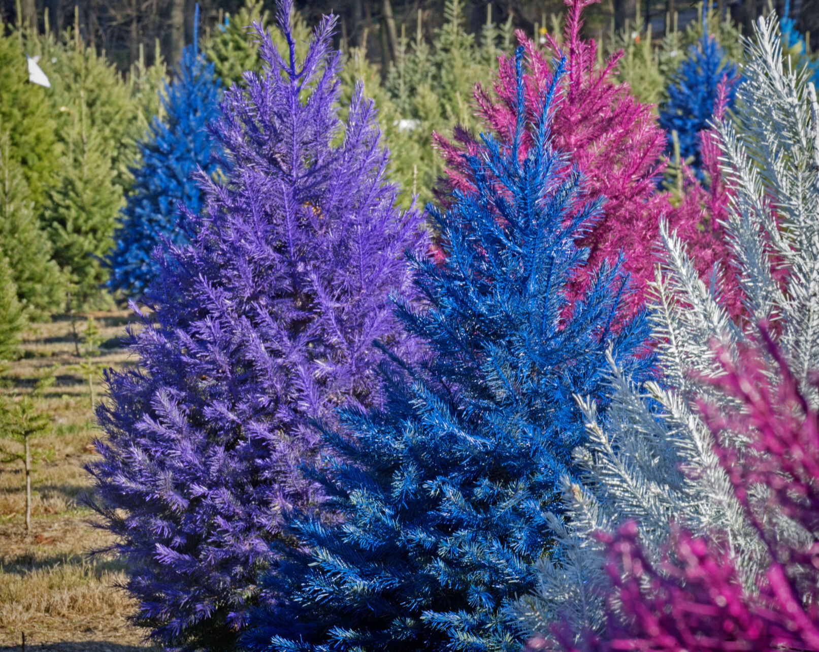 Purple Christmas Trees Are A Thing Watch How They Do It Photos Video Food Living Lancasteronline Com