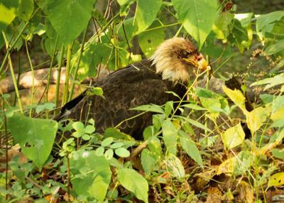 Eagle shot in Derry Twp. euthanized